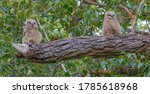 Two Great Horned Owlets On A...