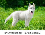 Puppy Of Siberian Husky Is...