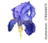 Watercolor Drawing Blue Iris...