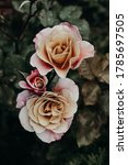 Beautiful Garden Roses With A...