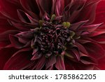 Macro Of A Red Dahlia. These...