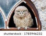 Little Owl  Athene Noctua ...