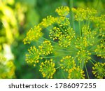 Dill Inflorescence On A...