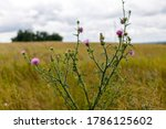 Flower Of Thistle In The Summer ...