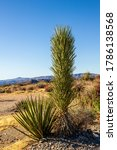 A Mojave Yucca Plant With...