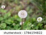 Dandelion Flower Head With...