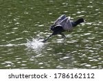 An American Coot Running With...