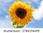 Yellow Sunflower Blossom On...
