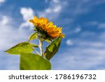 Sunflower With Green Leaves On...