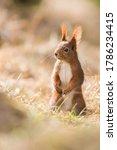 European Red Squirrel Looks At...