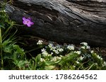 High Mountain Wildflowers.  The ...