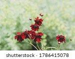 Coreopsis Limerock Ruby Flowers ...
