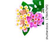 Flower Lantana Camara Isolated...