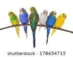 Stock photo budgerigars australian parakeets isolated on white background 178654715