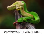 Two Pit Viper Snakes Hanging...