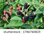 Close Up Of Blackberry Fruit...