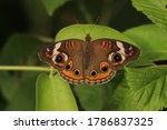 This Is A Common Buckeye...