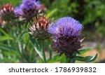 A Purple Cardoon In Bloom In A...