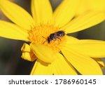 Native Australian Bee ...