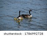 Two Geese With Three Of Their...