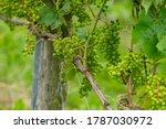 Summertime On Dutch Vineyard ...