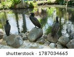 Cormorants With A Curved Beak...