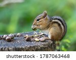 Eastern chipmunk perched on a stump eating acorns with blurry green background