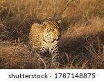 Big male leopard in the ruaha...