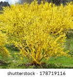 Blooming Forsythia In Early...