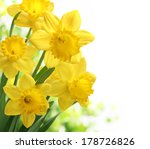 Bouquet Of Daffodil Flower On...
