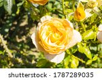 some orange yellow roses in the ... | Shutterstock . vector #1787289035