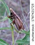 Milkweed Beetles On Antelope...