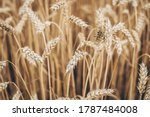 Scenic Landscape With Wheat...