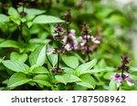 Flowering Purple Basil  Close...