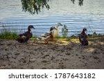 Four Adult Multi Colored Ducks...