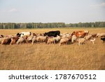 Sheep  Cows Graze In The Field