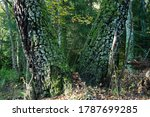 Birch Tree Trunk View In Forest....