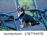 Chihuahua In A Chair. Dog Pet...