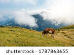 Brown Mountain Cow Grazing On...