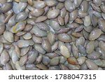 Small photo of Thai clams, Surf clam, Short necked clam, Venus shell, Baby clam, Carpet clam, Fresh clams seafood for background.