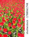 Tulip Field Blooming In...