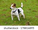 a jack russell in a field in... | Shutterstock . vector #178816895