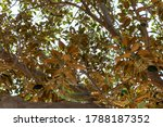 A Branch Of A Huge Ficus