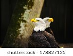 Two American Bald Eagles...