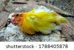 Lovebird Birds Are Dead  Dead...
