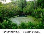 Overgrown Water In The Swamp....