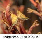 Skipper Butterfly On Kangaroo's ...