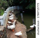 Small photo of Amazing sweet cute whitey ducks