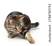 Lying Cat Tabby Funny And...