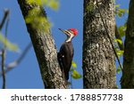 The Pileated Woodpecker.the...